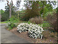 SU4200 : Rhododendrons at Exbury Gardens by Paul Gillett
