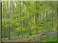 SK3372 : Bluebells, Linacre Reservoirs by Robin Drayton