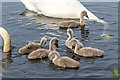 TQ3094 : Mute Swan Cygnets, Grovelands Park, London N14 by Christine Matthews