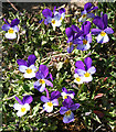 NJ6209 : Wild Pansy (Viola tricolor) by Anne Burgess