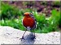 NY3403 : Robin (erithacus rubecula) by Norman Caesar