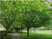 NY6820 : King George playing fields, Appleby: avenue of trees by Stephen Craven