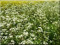 SO8642 : Cow parsley and oilseed rape by Philip Halling