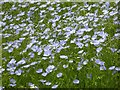 SP1641 : Flower of linseed oil crop by Philip Halling
