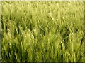 SO8641 : Green barley ears by Philip Halling