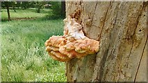 TQ4387 : View of a large bracket fungus on a storm-damaged tree trunk in Valentines Park by Robert Lamb