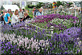 TQ2877 : Lavender flower bed, Chelsea Flower Show by Oast House Archive