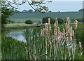 SK7386 : Bulrushes along the Chesterfield Canal by Mat Fascione