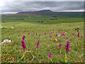 SD7973 : Early Purple Orchids with Pen-y-ghent as a backdrop by Mick Garratt
