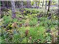 NY5661 : Ground flora, Miltonrigg Woods by Rose and Trev Clough