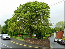 SO6023 : Lime tree on the corner by Jonathan Billinger