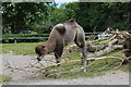 SH8378 : Willow the young Bactrian Camel (Camelus bactrianus) by Richard Hoare