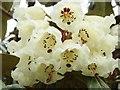 SW8339 : Rhododendron Maccabeanum flowers at Trelissick Gardens by Derek Voller