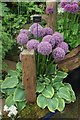 TQ2877 : Alliums at Chelsea Flower Show by Richard Hoare