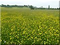 SO8845 : Buttercups in bloom at Croome by Philip Halling
