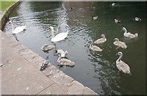 ST5545 : Swans on Moat - Bishop's Palace by Betty Longbottom