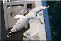 HU4642 : Herring Gull (Larus argentatus), Holmsgarth, Lerwick by Mike Pennington