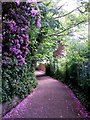 SZ0891 : Bournemouth: rhododendrons over Dalkeith Lane by Chris Downer