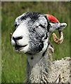 SK2582 : Head of an old sheep near Stanage Edge by Neil Theasby