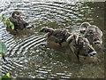TL3514 : Goslings in Park near River Lea, Ware, Hertfordshire by Christine Matthews