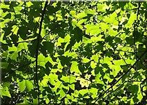 SX9065 : Sycamore leaves, Chapel Hill Pleasure Grounds by Derek Harper