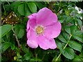 SO2423 : Rosa rugosa 'Rubra' by Jonathan Billinger