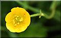 J4477 : Buttercup flower (open), Cairn Wood, Craigantlet (June 2016) by Albert Bridge