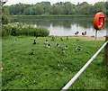 ST4769 : Waterfowl at the edge of Backwell Lake by Jaggery