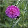 TL2998 : Bumblebee on Musk Thistle by Alan Murray-Rust