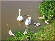 TQ1913 : Swans and Cygnets, River Adur by Simon Carey