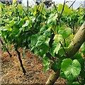 SW4630 : Polgoon vineyard by Mike Jackson