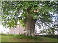 SN0313 : Minwear Church - large old tree by welshbabe