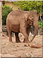SJ4170 : Asian Elephant at Chester Zoo by David Dixon