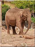 SJ4170 : Asian Elephant at Chester Zoo by David Dixon