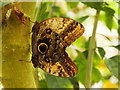 SJ4170 : Giant Owl Butterfly Inside the Butterfly House at Chester Zoo by David Dixon
