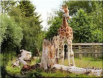 SJ4170 : Chester Zoo Giraffe Enclosure by David Dixon