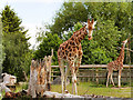 SJ4170 : The Giraffe Paddock at Chester Zoo by David Dixon