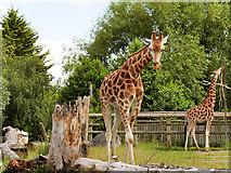SJ4170 : The Giraffe Paddock at Chester Zoo by David Dixon