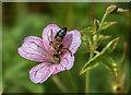 TQ3092 : Bee on Geranium, Broomfield Park, London N13 by Christine Matthews