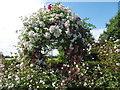 TR0660 : The Millennium Rose Garden at Mount Ephraim Gardens by Marathon