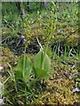 NS3976 : Common Twayblade by Lairich Rig