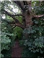 SZ1096 : Muscliff: footpath M17 passes a large tree by Chris Downer