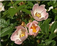 SX9066 : Rose, Nightingale Park by Derek Harper