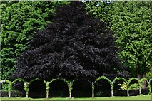 NJ1736 : Ballindalloch Castle and Gardens: Clematis arches and fine Copper Beech by Michael Garlick
