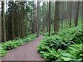 NS4291 : West Highland Way in Balmaha Plantation by John Allan