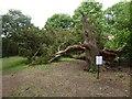 SO8844 : A fallen tree by Philip Halling