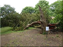 SO8844 : A fallen tree by Philip Halling
