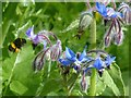 ST3086 : Bee and Borage by Robin Drayton