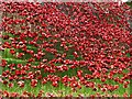 SK9771 : Poppy Wave #2 at Lincoln Castle by Steve  Fareham