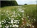 SP1434 : Headland daisies by Philip Halling